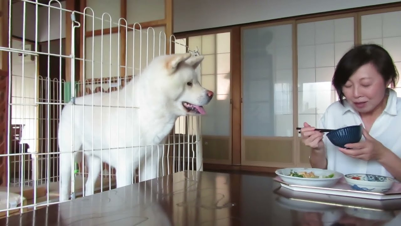 【秋田犬ゆうき】人間の食事をおねだりするようなことは無いが実に食べにくい【akita dog】