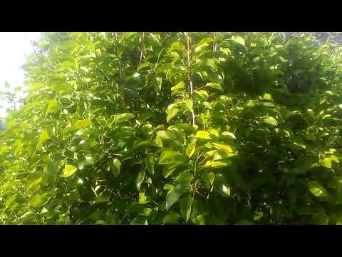 Armut ağacı yaprağı