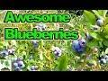 Unbelievable Crop Of Blueberries