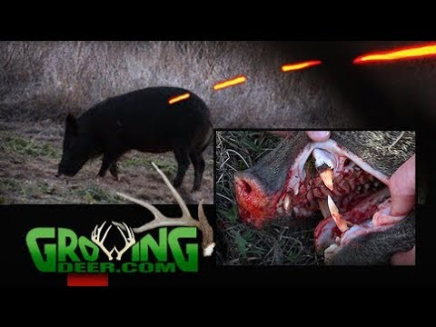 Bow Hunting South Texas | Spot And Stalk | Javelinas And Hogs (#430) @GrowingDeer.tv