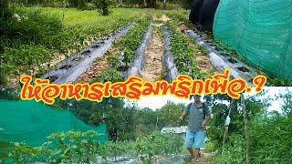 #ทำสวน, ปลูกพริก,อาหารเสริมฉีดพ่นทางใบมีประโยชน์อย่างไร