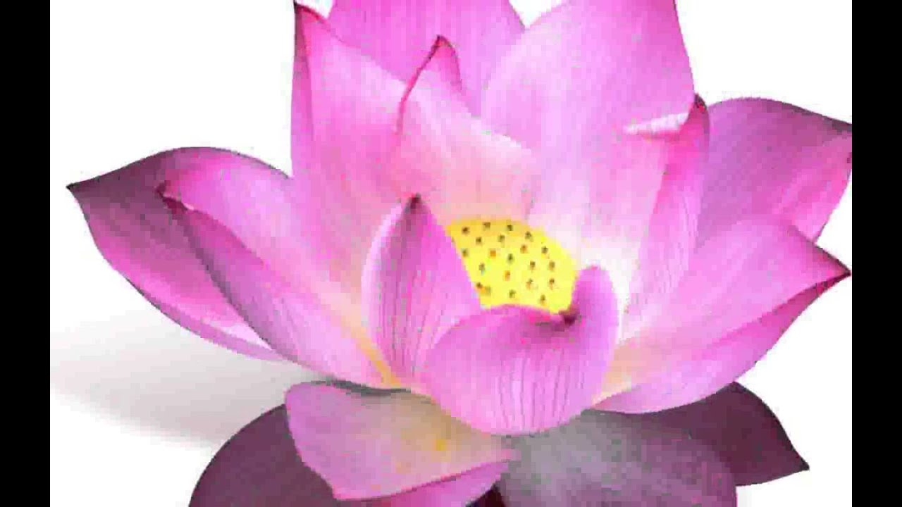 Lotus flower pictures youtube lotus flower pictures izmirmasajfo