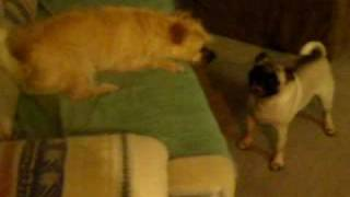 Pug Vs. Border Terrier Rough Housing