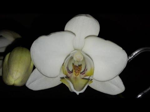Секрет красивых корней на орхидее фаленопсис. Зацвела голубая орхидея спустя 2 года.