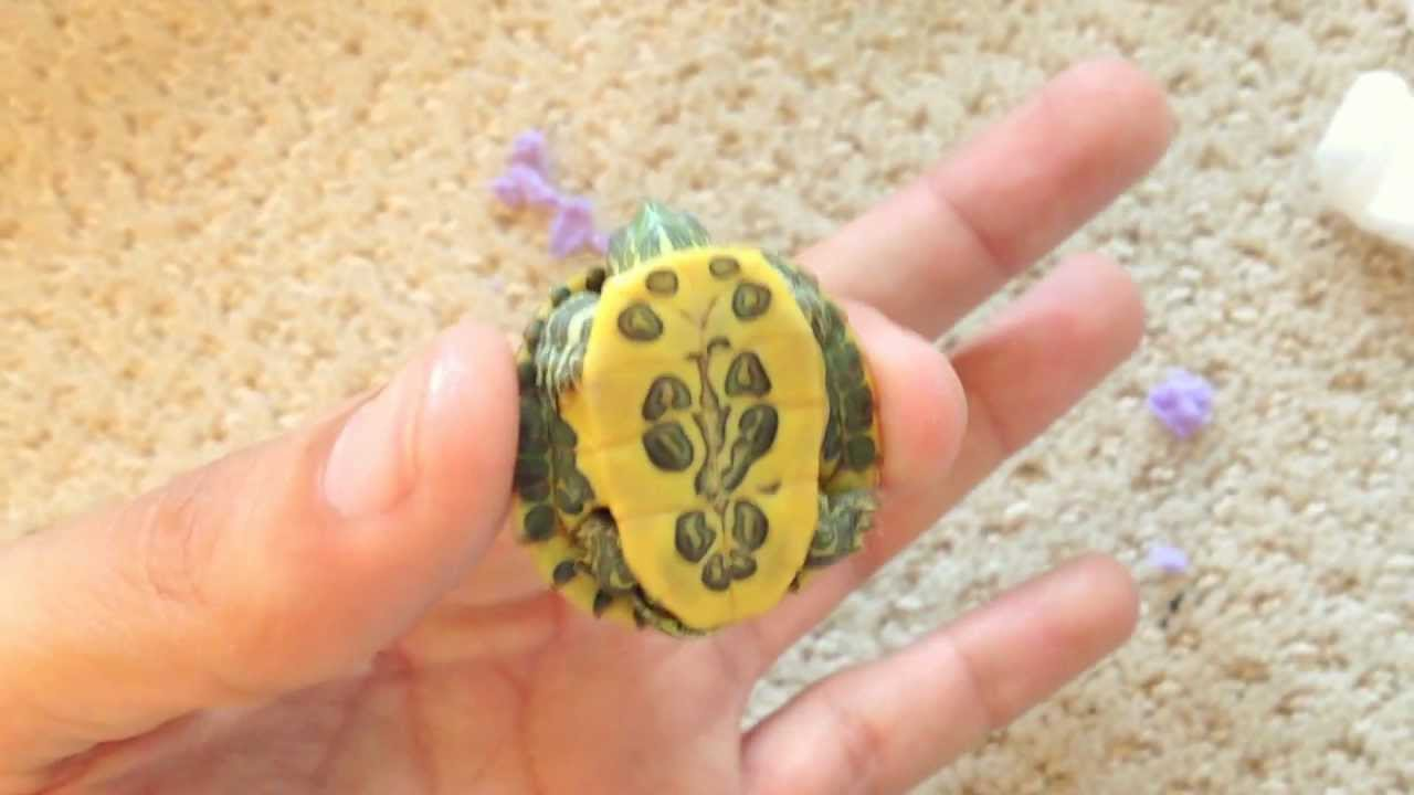 NEW! Rare Cute Baby Turtles #1