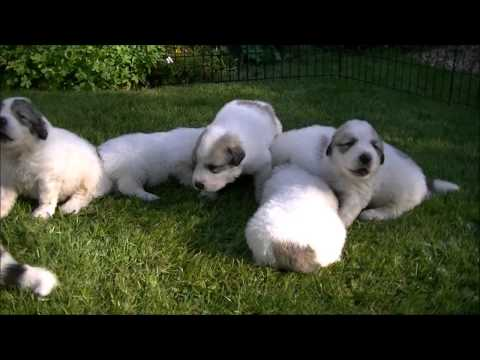 Pyrenean Mountain Dogs - Great Pyrenees Puppies 2012 - 3 Weeks Old @ Penellcy