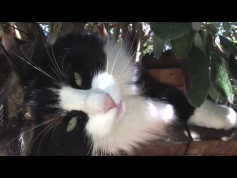 Norwegian Forest Cat - Jade - 10 weeks to 5 years    *1080HD*