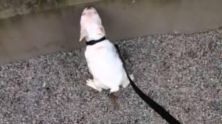 Rocky - White French Bulldog - Potty Training - February 13, 2014