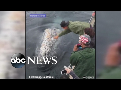 Friendly whales entertain tourists on a boat in California