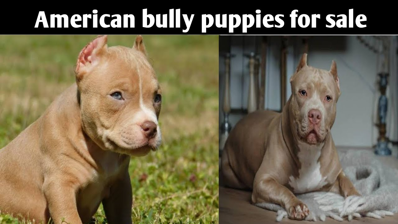 American Bully Puppies For Sale 12000 Delhi And India