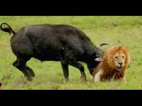 Group of Buffalo kills lion