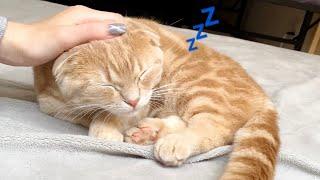 朝の寝起きの悪さを見せる短足猫
