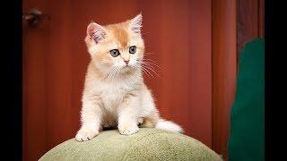 Кошка Xenia Sharm SunRay Британский котенок черного золотого завуалированного окраса BRI ny 12