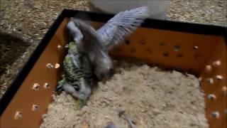 разведение волнистых попугаев часть-12.