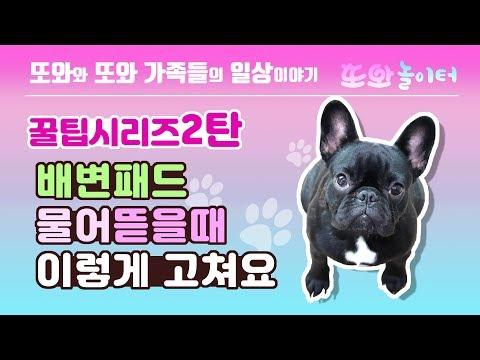 배변패드 물어뜯을때 이렇게 고쳐요. ttowa,프렌치불독,강아지, 또와, 귀여운, 댕댕이, 애견, French Bulldog, puppy, cute