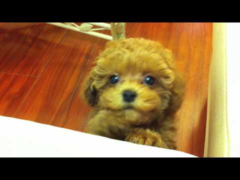 Tiny Red Toy Poodle Puppy Kola (9.5 weeks, 1.8 lbs) - whining & crying