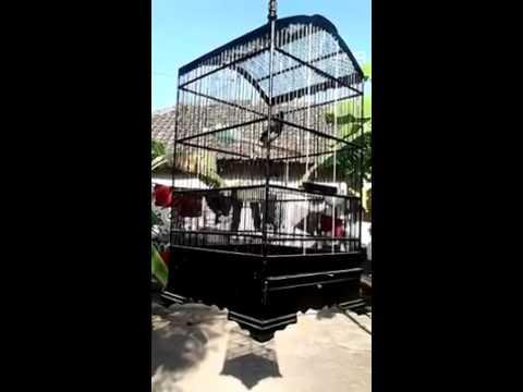 suara asli kacer untuk memancing kacer macet bunyi atau kacer mbedesi