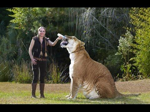 Gr 214 Sste Tiger In Der Welt Youtube
