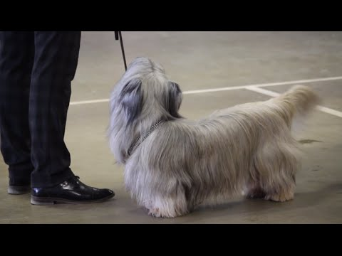 Cute Skye Terrier || PetsVideo :O)