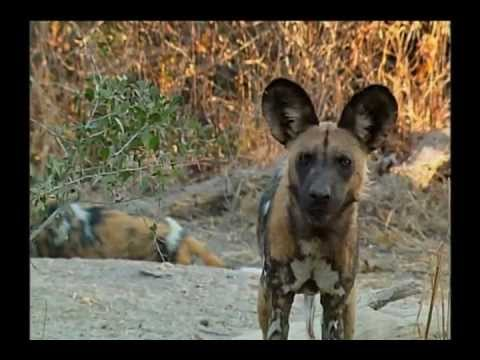 Be the Creature - Wild Dogs