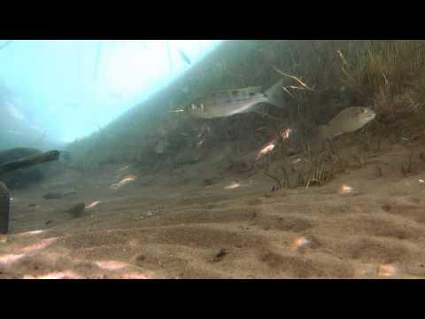 Reeds and silt environment - Lake Tanganyika II