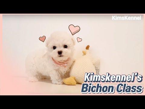 Teacup bichon frise mini size bichon - Teacup puppies KimsKennelUS