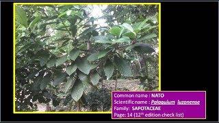 NATO - Tree Species | Palaquium luzoniense - SAPOTACEAE | Tropical Rain Forest Tree (Quick Look)
