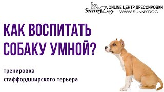 Как воспитать умную собаку? Умственная тренировка стаффордширского терьера
