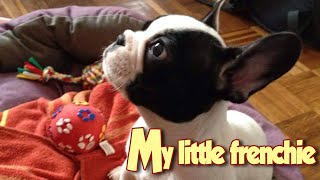 ♥ Cute Little French Bulldog Puppy with His Favorite Toy (My 2 Months Old Puppy Neo)