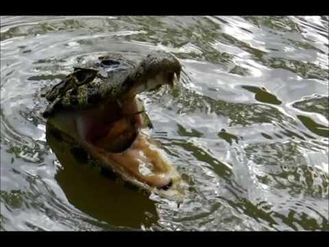 Крокодилы: видео как крокодил ( кайман ) ест рыбу. Бразилия, Пантанал.