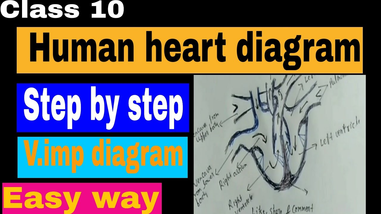 Human heart diagram !! v.important diagram !! step by step ...