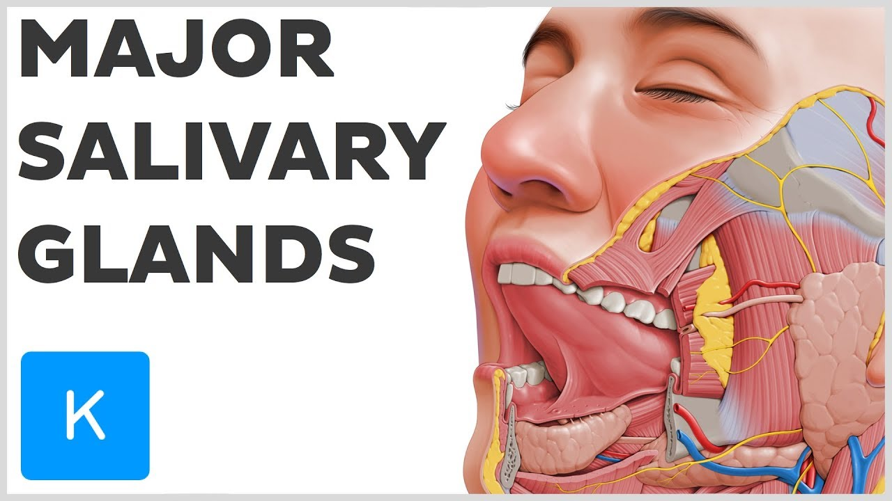 what are the major salivary glands human anatomy kenhub [ 1280 x 720 Pixel ]