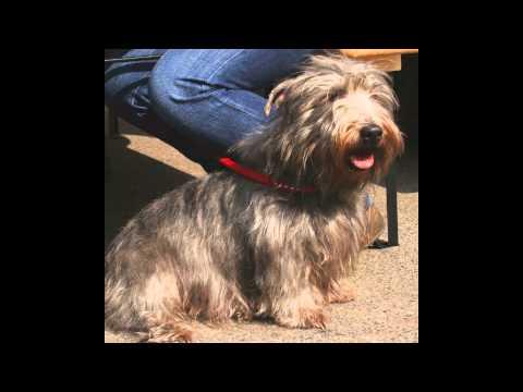Глен оф Имаал терьер/Glen of Imaal Terrier (порода собак HD slide show)!