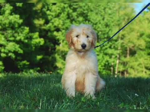 Amazing GOLDENDOODLE FACTS!!!!