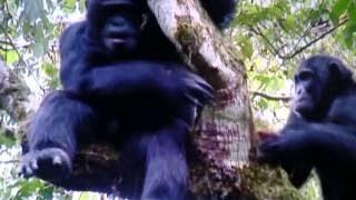 微笑ましいチンパンジー・猿を襲い食べるチンパンジー・共食いをするチ...