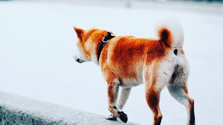 Собака Шиба Ину(сиба) поет AC\DC - Play Ball (Это Фиаско)