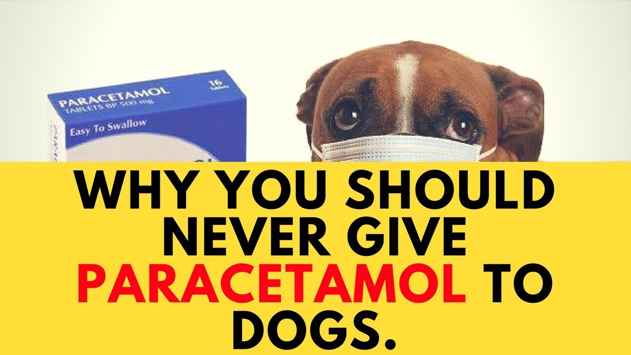 Can I Give My Dog Paracetamol >> Why You Should Never Give Paracetamol To Dogs Youtube