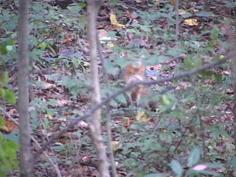Pennsylvania Gray Fox