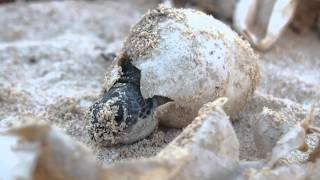 Baby Sea turtle hatching