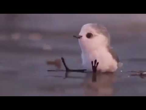 Piper - Watch This Baby Bird Overcome Her Fear Of Water