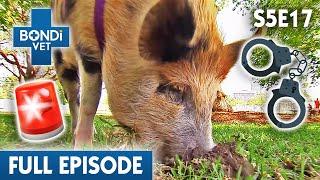 pig-keeps-digging-up-holes-s05e17-bondi-vet