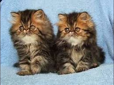 animal-planet-:-cats-101-~-persian
