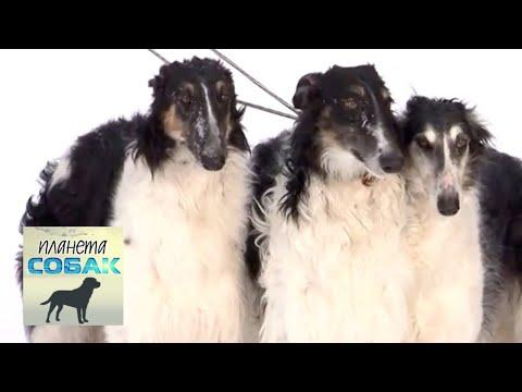Русская псовая борзая. Планета собак 🌏 Моя Планета