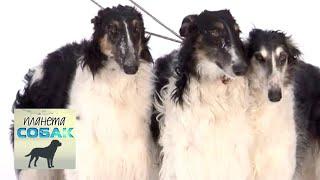 Русская псовая борзая  Планета собак | Моя Планета