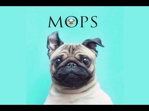 Encyklopedie psů | Mops