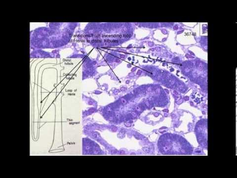 15. Medical School Histology. Urinary System - Part 1 - Kidney and Nephron
