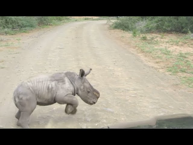 Baby Rhino Charges At Car