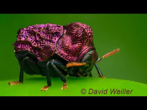 Have you Ever Seen a Beetle in a Purple Dress?