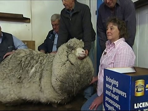 Raw: Australian Sheep Gets Long Overdue Haircut