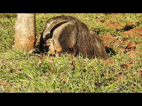 Giant Anteater Eating